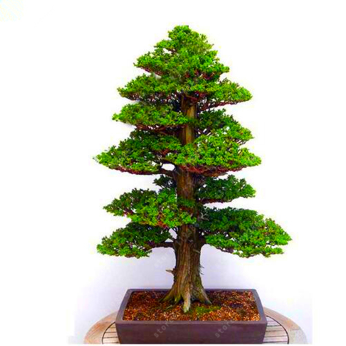 100Pcs/bag Sacred Japanese Cedar seeds Bonsai tree Seeds Easy To Plant Bonsai Home Garden Decoration Miniascape Seeds plant