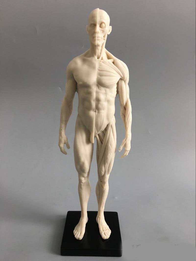 30cm Art mannequin musculoskeletal anatomical model structure of ...