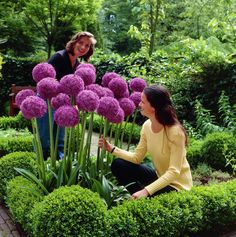 20 Giant Allium Globemaster Allium Giganteum Flower Seeds gorgeous garden Plants