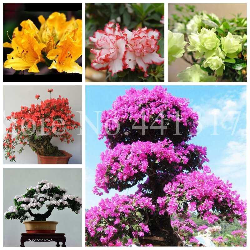Bonsai 10 adet/paket Nadir Saksı Karışık Renk Açelya DIY Ev ve bahçe bitkileri Gibi Görünüyor Sakura Japon Kiraz Blooms Çiçek