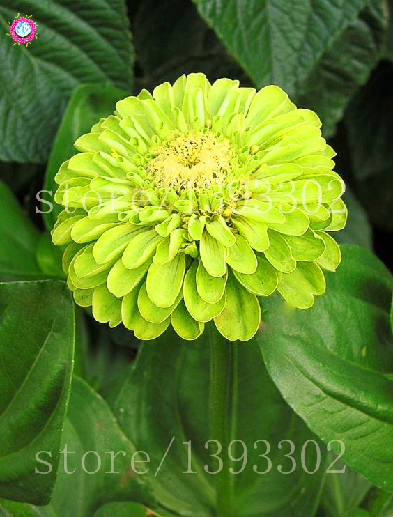 50PCS Bonsai Zinnia Seeds Multicolor Chrysanthemum SeedsTrue Beautiful Fireball Flower Seeds Potted Plants For Home Garden