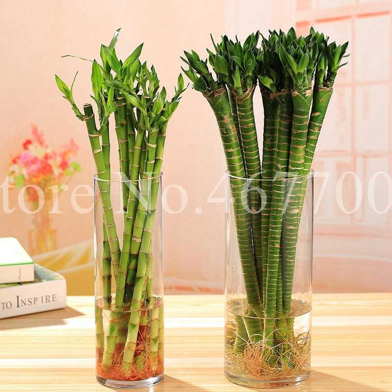 Tempo-Limit!! 10 pz Arcobaleno Di Bambù Fortunato Bonsai Piccole Piante In Vaso Purificare Dracaena Plantas, Piantando Semplice per La Casa e Giardino
