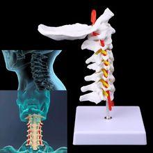Adereços médicos modelo livre porte cervical vértebra arteria coluna vertebral nervos anatômicos modelo tamanho da vida