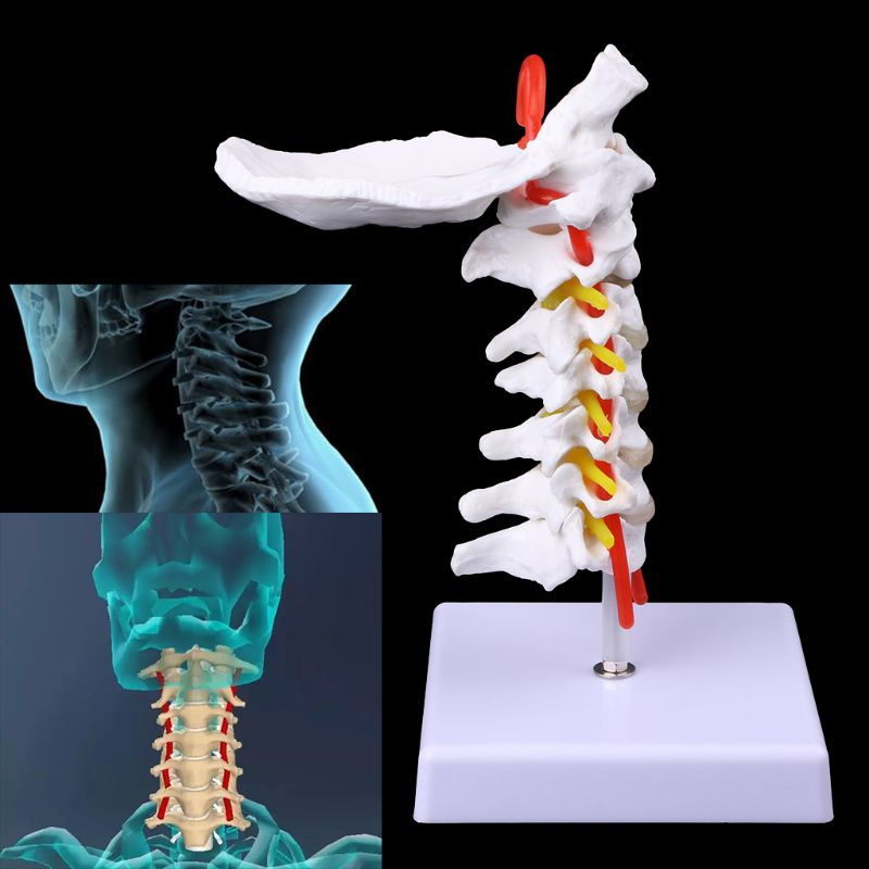Medical Props Model Free Postage Cervical Vertebra Arteria Spine Spinal Nerves Anatomical Model Life Size