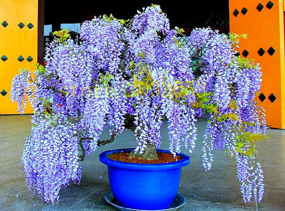 Bonsai 10 pcs wisteria seeds chinese purple flower tree mini bonsai bonsai 10 pcs wisteria seeds chinese purple flower tree mini bonsai tree send 300 strawberry seeds for gift in bonsai from home garden on aliexpress mightylinksfo