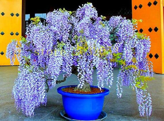 Bonsai 10 Pcs Wisteria Seeds Chinese Purple Flower Tree Mini Send 300 Strawberry