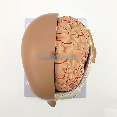4 Parte de la Cabeza Humana Cráneo Cerebro Anatómico Anatomía Oral ...