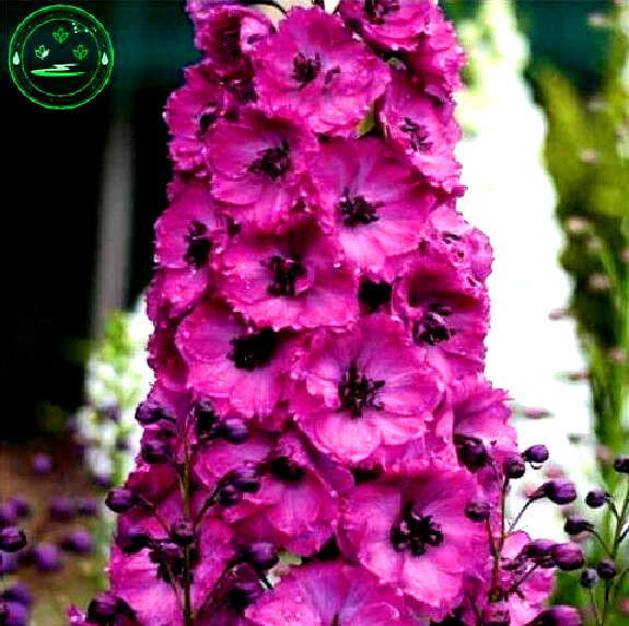Bonsai seeds Forking Larkspur Salmon King Delphinium consolida Family garden decoration Organic Flower free shipping 100PCS