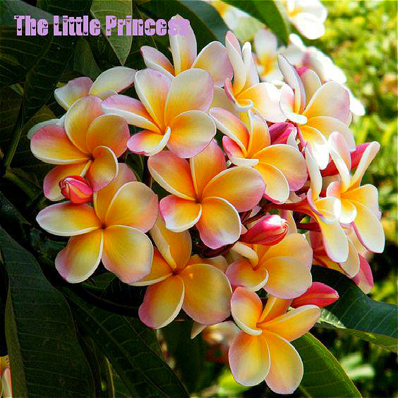 Types Of Lilies In Florida: Popular Plumeria Colors-Buy Cheap Plumeria Colors Lots