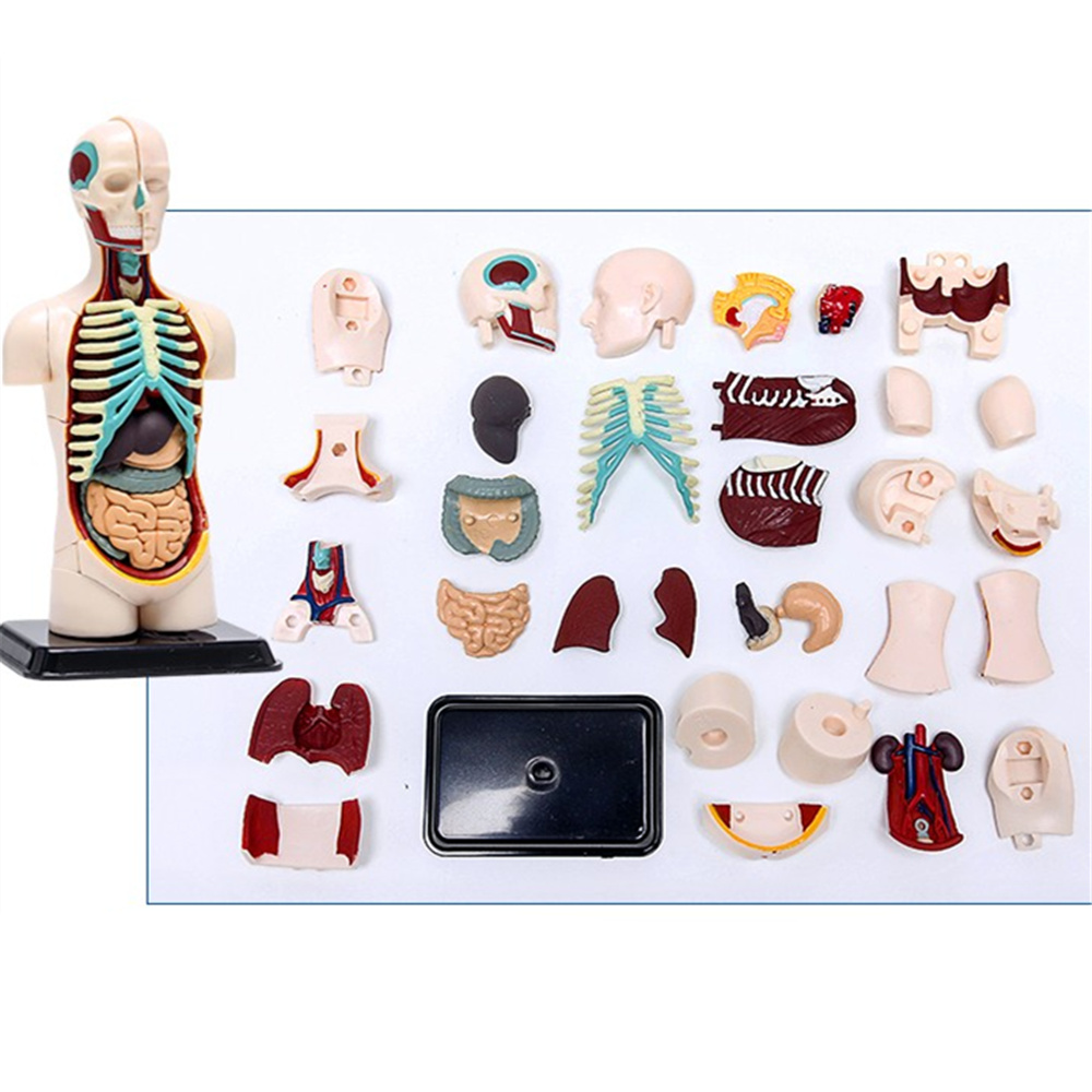 3D Mine Child Science Toy Human Anatomy model Human torso Assembly Model Visceral Anatomical Model no child of mine
