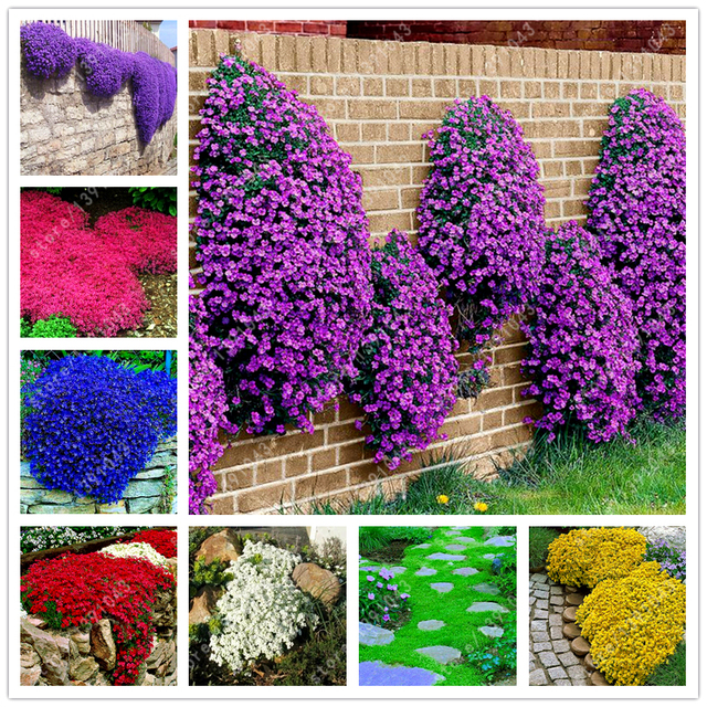 100 pcsbag creeping thyme seeds or blue rock cress seeds perennial 100 pcsbag creeping thyme seeds or blue rock cress seeds perennial ground cover flower mightylinksfo