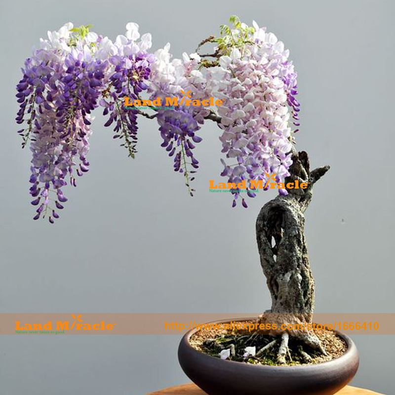 Compare prices on wisteria bonsai tree online shopping - Glicinia en maceta ...