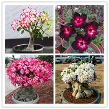 5pcs Desert Rose Plantas rare Adenium Obesum flower Plants  Flower Bonsai floresling Air Purification for Home Garden