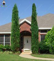 50pcs Super Giant Heirloom Cypress bonsai Ornamental Cypress Tree bonsai Evergreen Bonsai Plant Easy To Grow For DIY Home&Garden
