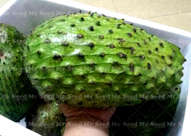 Giant  Graviola Soursop Tropical Seed   Rare fruit tree seeds