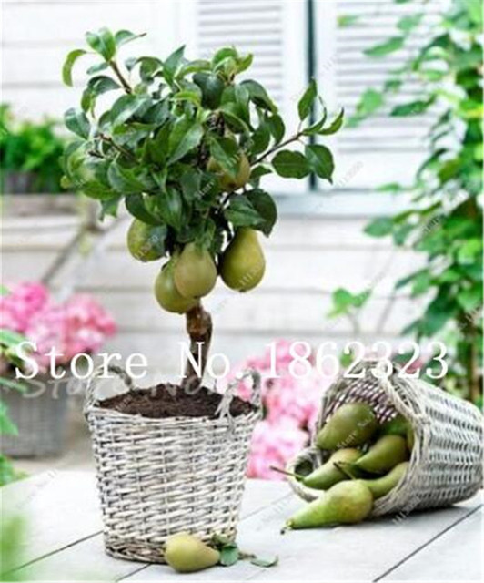 10 шт. Редкие оригинальные фрукты дерево груша Bonsais Планта, семена дерева карликового дерева, редкие растения для дома и сада частота причаливания 97%