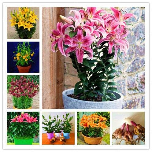 Bulbes De lys véritable parfum lys (bonsaï) bulbes De fleurs De bonsaï haute germination bulbes De Lilium Bulbos De Flores Planta-2 bulbes