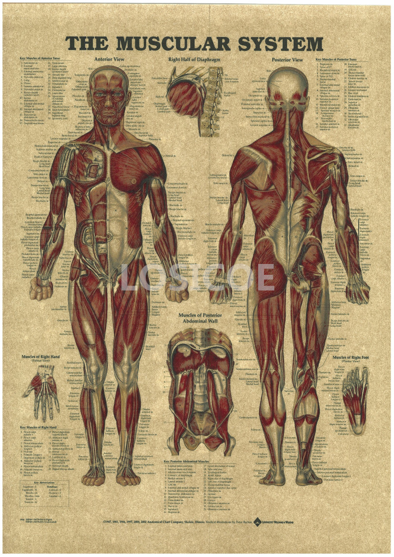 Vintage Medicine Human anatomy Posters Kraft Paper Painting Wall Sticker Print Art Hospital Classrooms Interior Decoration A7-in Painting & ...