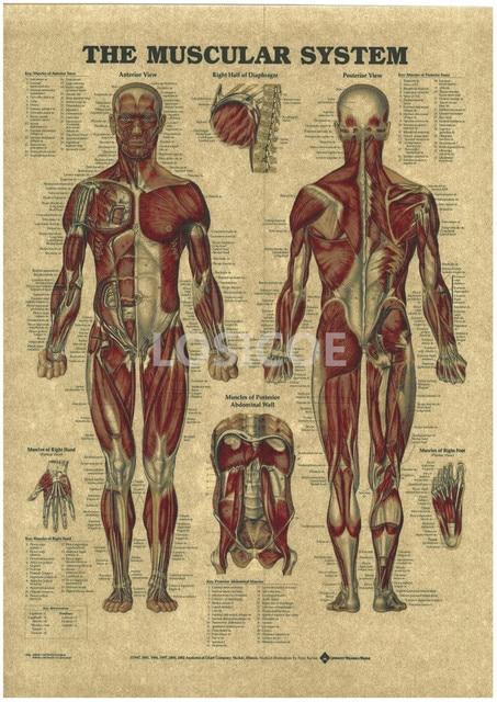 Vintage Medicine Human Anatomy Posters Kraft Paper Painting Wall