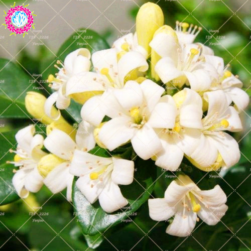 20pcs murraya paniculata plant true orange jasmine shrub with 20pcs murraya paniculata plant true orange jasmine shrub with fragrant white flower plant perennial garden climbing mightylinksfo