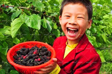 200pcs real quality blackberry fruit seeds.rare fruit mulberry seeds for home garden planting NO-GMO grow fast.sweet and juicy.