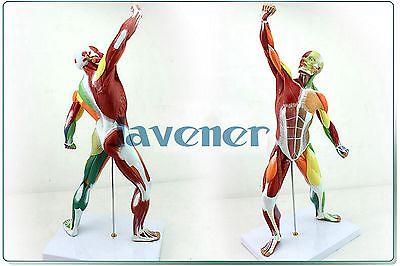 Mini Human Anatomical Most Muscular Pose Anatomy Medical Model Colours life size human anatomical anatomy foot planta pedis medical model
