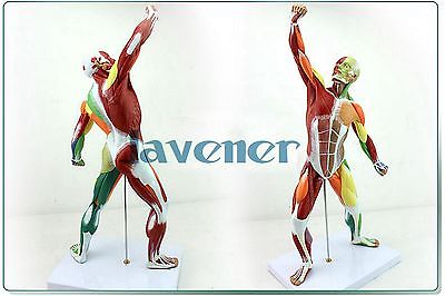 Mini Human Anatomical Most Muscular Pose Anatomy Medical Model Colours