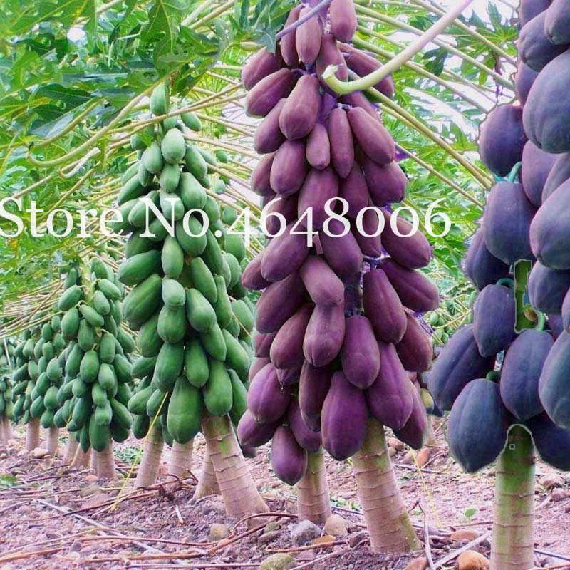 100% Benar Pepaya Pohon Bonsai Organik Carica Papaya Bonsai untuk Taman Sayuran Tanaman Buah Sementes Tropic Buah-50 Pcs