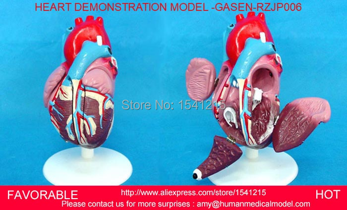 HEART ANATOMY VISCERA MEDICAL MODEL,MODEL OF CARDIAC CARDIAC ANATOMY , HUMAN HEART, ,HEART MEDIUM DEMO MODEL (6) -GASEN-RZJP006 baby mix музыкальная игрушка камера