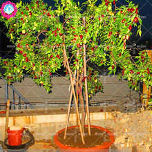 11.11 Big Promotion!10 pcs/lot red date palm seeds jujube tree fruit seed potted in garden&home aweet organic herb plant seeds