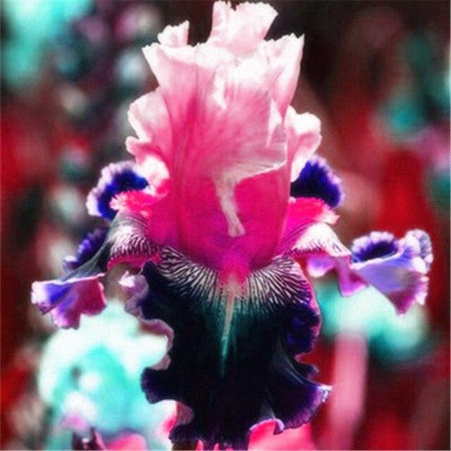 50 pz Bonsai Iris Fiore Perennia Fiore Raro Fiore barbuto iris, La Natura piante di Orchidea fiori FAI DA TE per Giardino