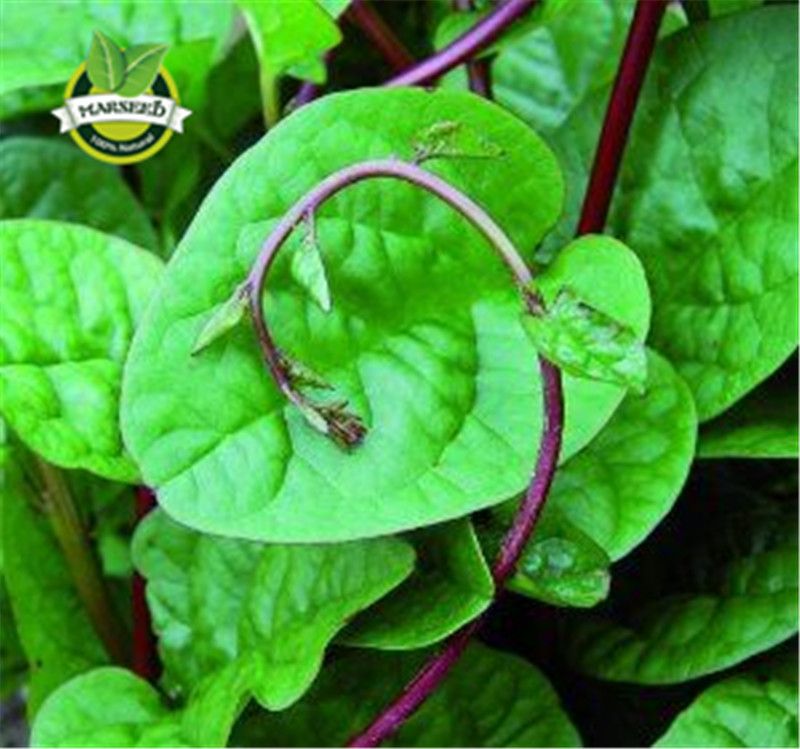 Marvellous Compare Prices On Container Gardening Seeds Online Shoppingbuy  With Outstanding Red Malabar Spinach  Seeds Edibleornamentalclimbing Malabar Spinach  Vegetable Seeds Perfect For A Small With Breathtaking Brook Garden Centre Chesterfield Also Cuprinol Garden Shades Beaumont Blue L In Addition Garden Of Evil Movie And Hillwood Gardens As Well As Best Garden Design Additionally Very Large Garden Pots From Aliexpresscom With   Outstanding Compare Prices On Container Gardening Seeds Online Shoppingbuy  With Breathtaking Red Malabar Spinach  Seeds Edibleornamentalclimbing Malabar Spinach  Vegetable Seeds Perfect For A Small And Marvellous Brook Garden Centre Chesterfield Also Cuprinol Garden Shades Beaumont Blue L In Addition Garden Of Evil Movie From Aliexpresscom