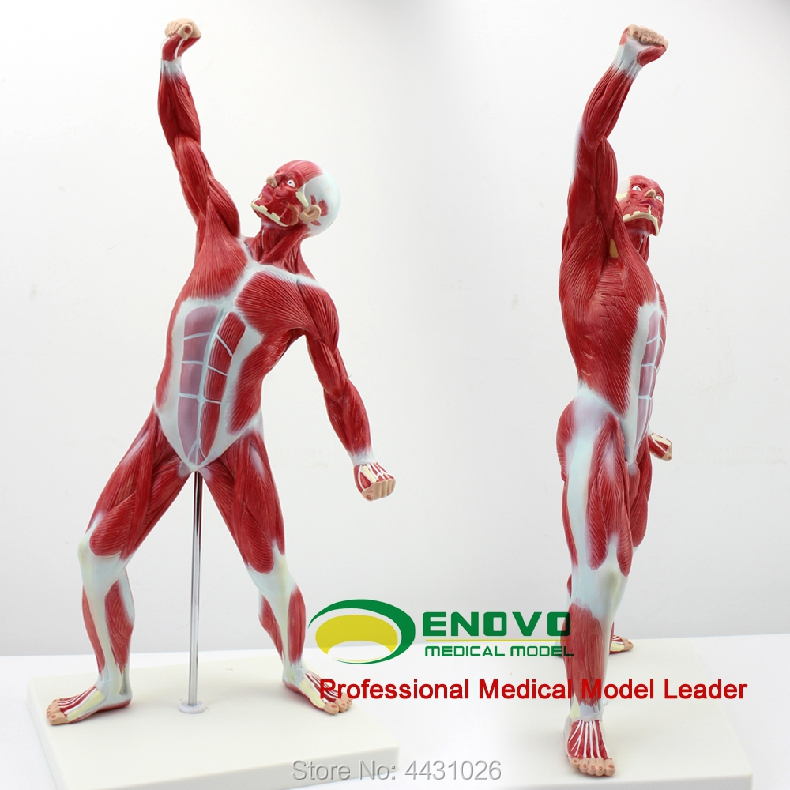 ENOVO Medical art USES the human body muscle motion model shallow muscle dissection movement system herbal muscle