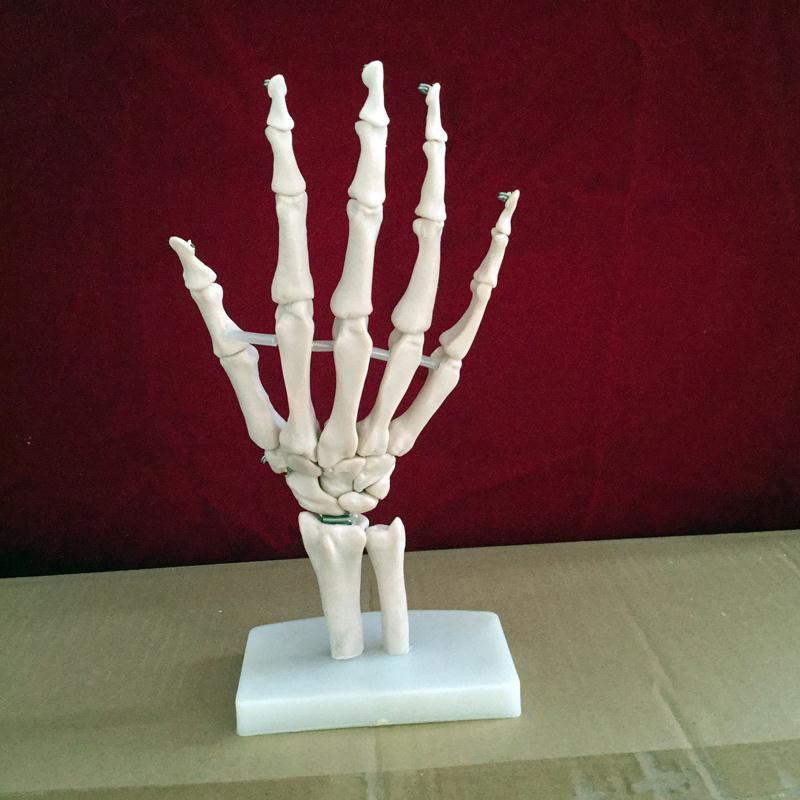 Modelo De Esqueleto Humano Modelo De Esqueleto De Mano En Masaje Y