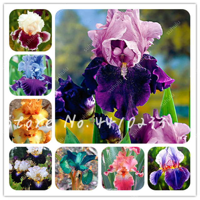 100pcs Bonsai Bearded Iris Perennia Flower Rare Orchid Bonzai Potted Nature Plant Orquideas Flore Diy Garden Decoration 24 Kinds