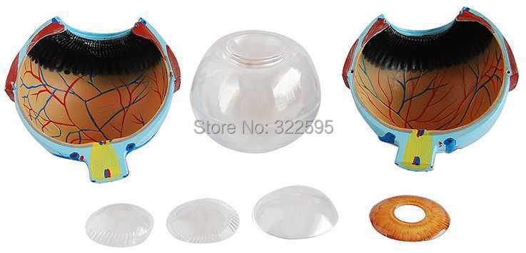 Eye zoom model (6 times), the anatomy of the human eye model mini human uterus assembly model assembled human anatomy model gift for children