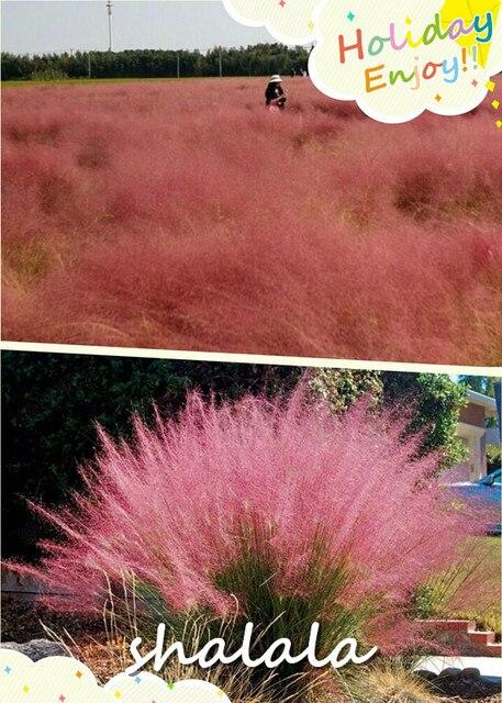 hot sell 1000 pcs Pink grass, perennial ornamental grass  special hairy mangoes  grass powder milieu garden decoration flower