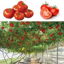 100 pcs/bag tomato tree seeds italy rare vegetable seeds for home garden