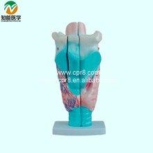 BIX-A1049  Laryngeal Anatomic Model  G145