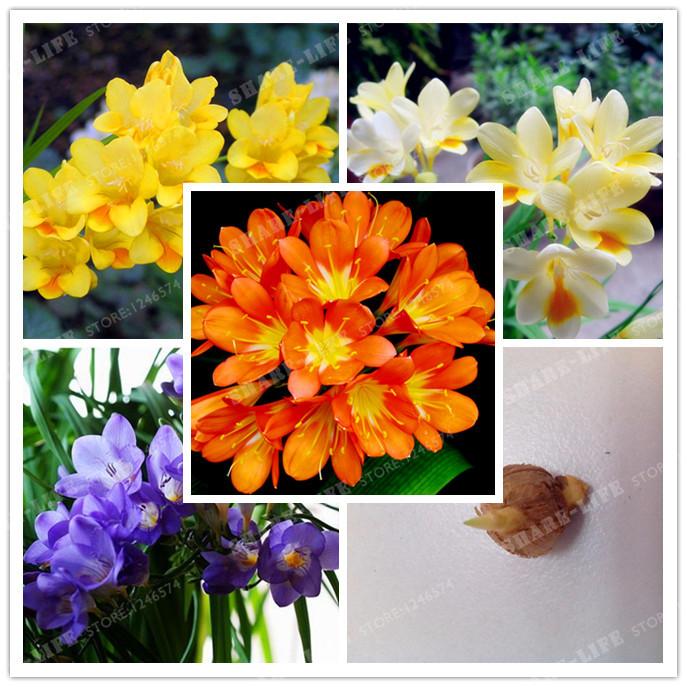 mezcla de colores hybrida fresia bombillas de las races de las plantas en maceta de flores