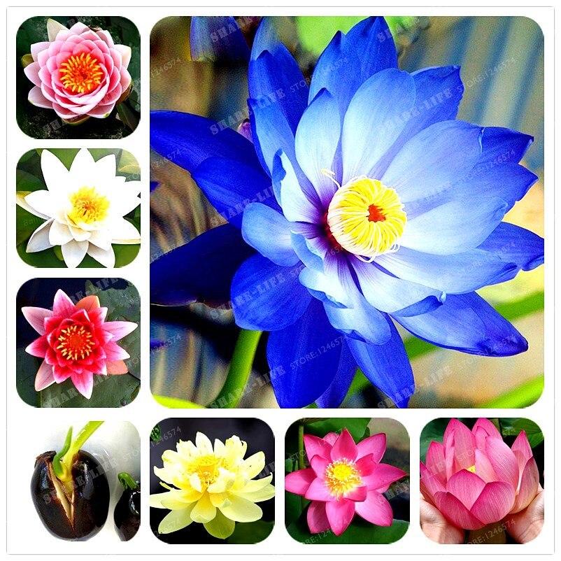 lotus graines de fleurs promotion achetez des lotus graines de fleurs promotionnels sur. Black Bedroom Furniture Sets. Home Design Ideas