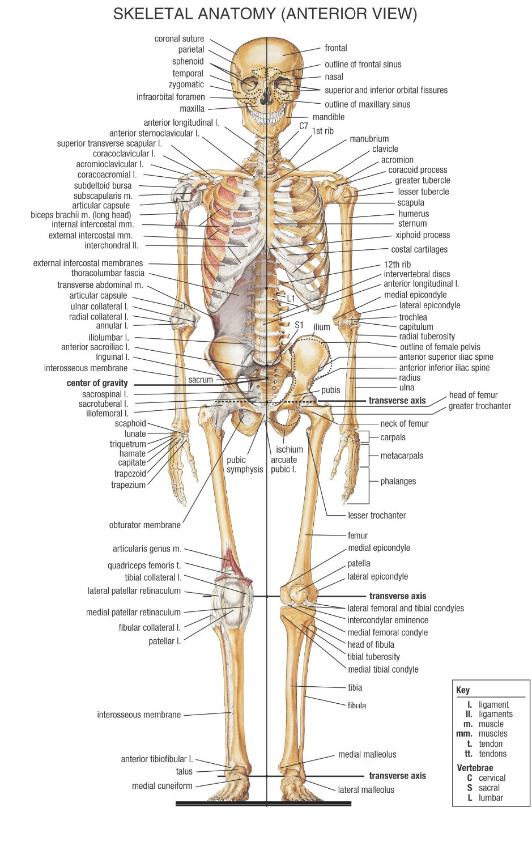 Human Skeletal System PromotionShop for Promotional Human – The Skeletal System Worksheet Answer Key