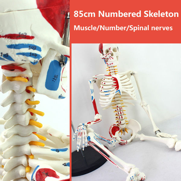 CMAM SKELETON04 85cm Skeleton Model with Muscle Painted for Medical font b Science b font Best