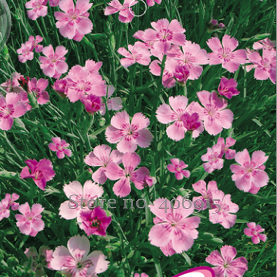 Buy Pink Dianthus And Get Free Shipping On Aliexpress