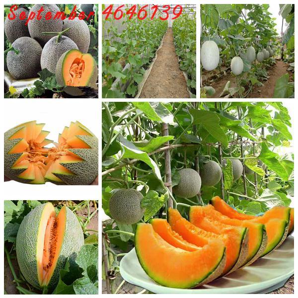 non-OGM organico Melone miele di rugiada verde melone dolce Semi 50 semi per Packag