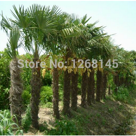 Excellent ornamental trees, 20pcs Palm Tree Seeds bonsai plant DIY ...