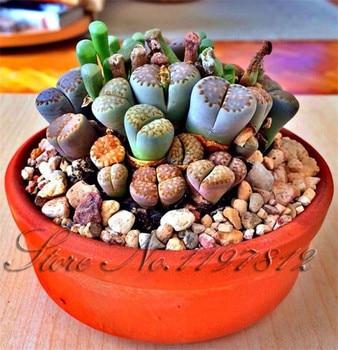100 plants Lithops Pseudotruncatella Living Stone Rare Succulent plants Home Garden Plant plants