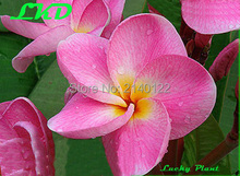 7 to15inch Rooted Plumeria Plant Thailand Rare Real Frangipani Plants no35-bellevista