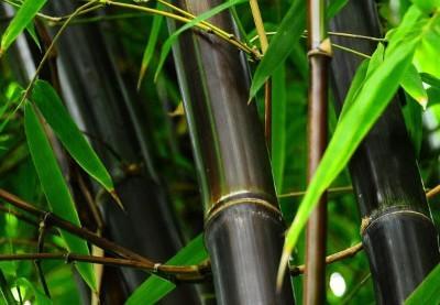 Black Bamboo Seeds, – Phyllostachys Nigra Dendrocalamus asper Betung Hitam, 50pcs/pack