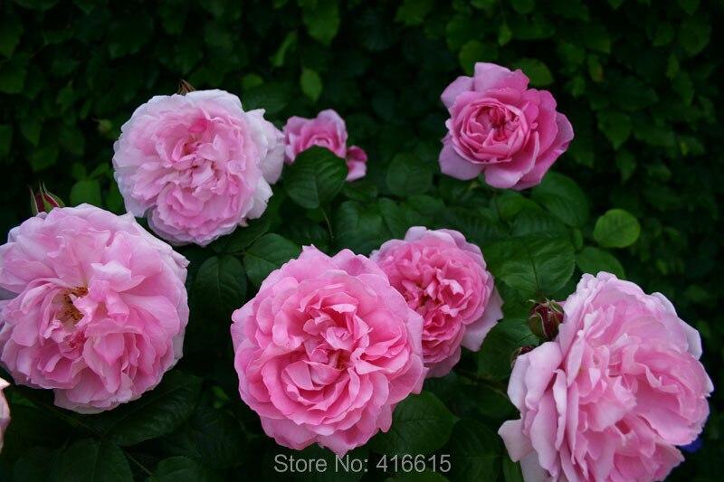 buy 100 mary rose seeds pink david austin. Black Bedroom Furniture Sets. Home Design Ideas